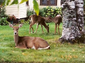 deer in my yard